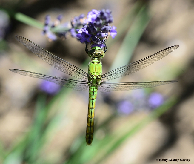 A Western pondhawk (Erythemis collocate) rests on a lavender. (Photo by Kathy Keatley Garvey)