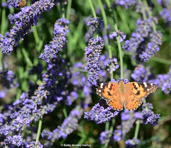 A painted lady butterfly (Vanessa cardui) flutters around the lavender fields of the Araceli Farms in Dixon on June 22. (Photo by Kathy Keatley Garvey)