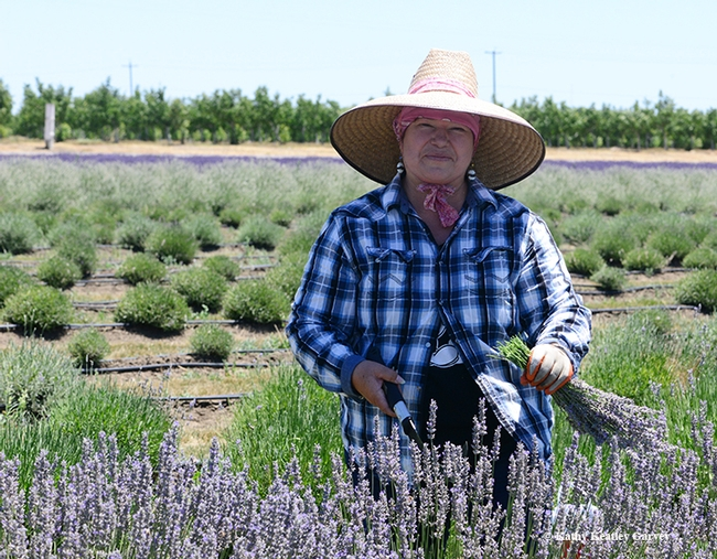 Maria Gonzalez of Dixon cuts lavender on the Araceli Farms. (Photo by Kathy Keatley Garvey)