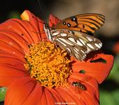 A Gulf Fritillary shares a Mexican sunflower (Tithonia) with a hover fly (Syrphid). (Photo by Kathy Keatley Garvey)