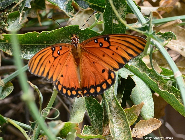 A Gulf Fritillary spreads its wings on Passiflora. (Photo by Kathy Keatley Garvey)