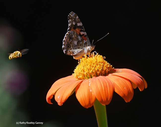 A male longhorned bee, Melissodes agilis, targets the back of a painted lady, Vanessa cardui, on a Mexican sunflower in a Vacaville pollinator garden. This is typical territorial behavior. (Photo by Kathy Keatley Garvey)