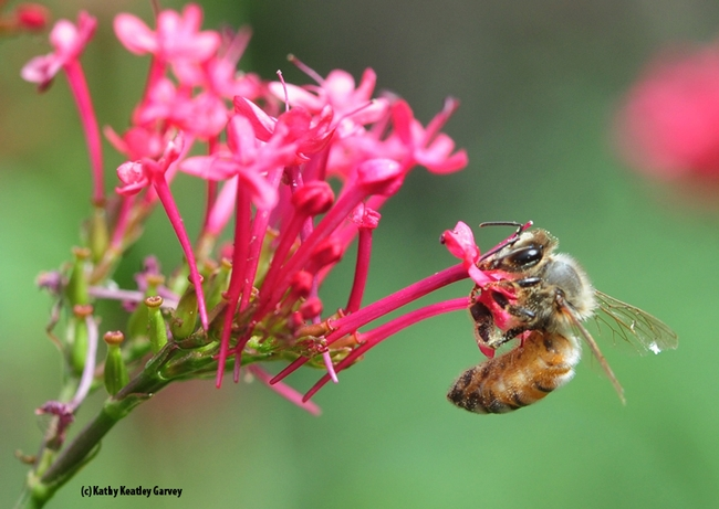 A honey bee nectaring on Jupiter's Beard, Centranthus ruber, in Vacaville, Calif. (Photo by Kathy Keatley Garvey)