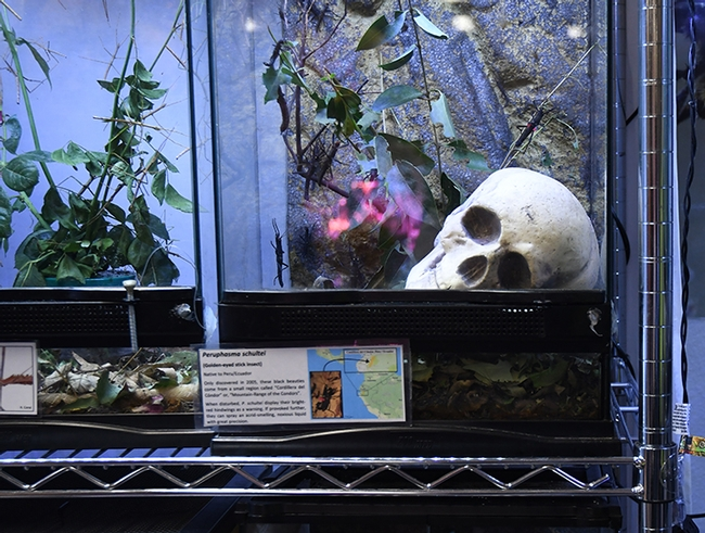 The petting zoo featured a new addition at the Bohart Museum of Entomology: a skull. (Photo by Kathy Keatley Garvey)