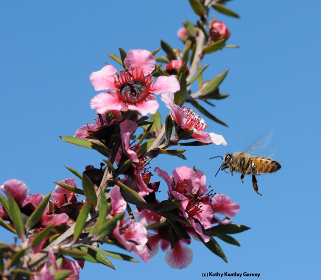A honey bee heads for a Leptospermum scoparium keatleyi, a plant also known as