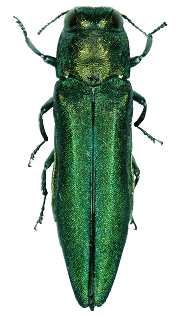 The emerald green ash borer, Agrilus planipennis. (Pennsylvania Department of Conservation and Natural Resources - Forestry Archive)