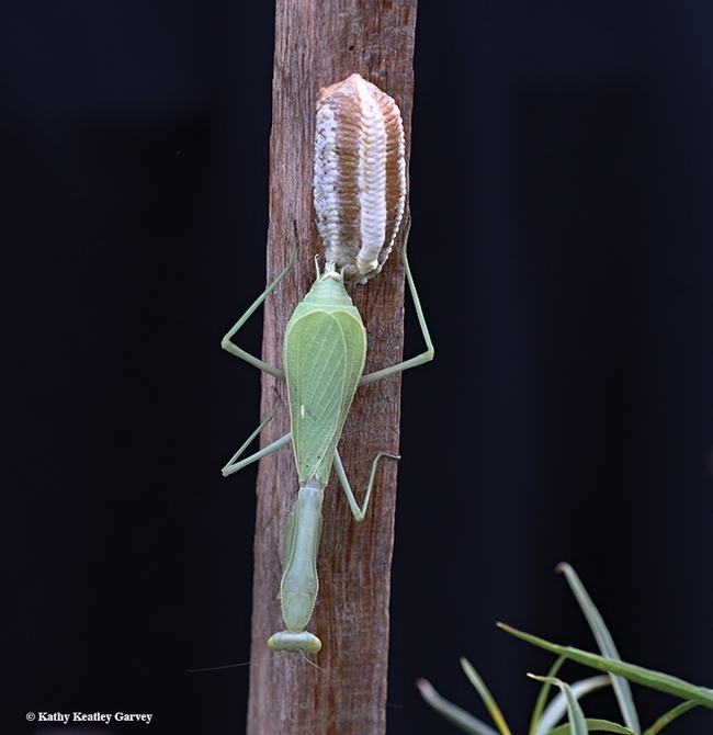 A praying mantis, Stagmomantis limbata, depositing an egg case, an ootheca. (Photo by Kathy Keatley Garvey)