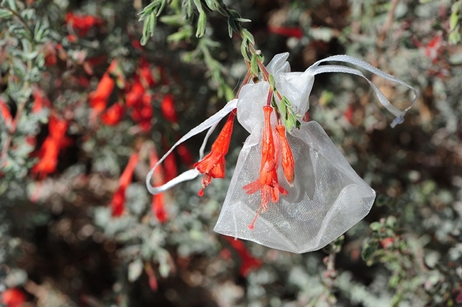 The research of UC Davis community ecologist Rachel Vannette involves microscopic organisms in the nectar of California fuchsia, Epilobium canum. She uses nylon bags to prevent pollinator contact. (Photo by Kathy Keatley Garvey)