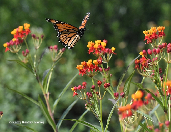 A monarch in flight in the summer of 2017 in Vacaville, Calif. This is the non-native tropical milkweed, Asclepias curassavica.(Photo by Kathy Keatley Garvey)