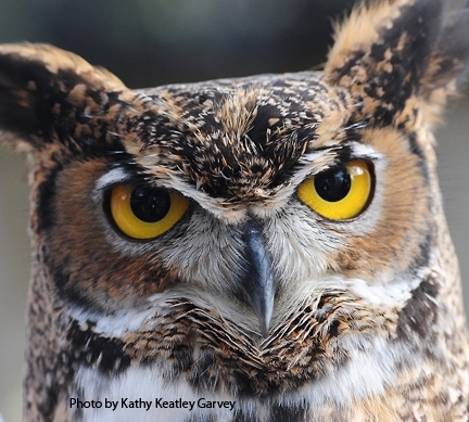 Great-horned owl at the Raptor Center. (Photo by Kathy Keatley Garvey)