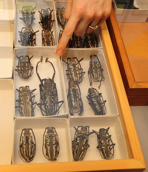 A Bohart Museum scientist points to a large long-horned beetle from Papua New Guinea. (Photo by Kathy Keatley Garvey)