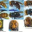 These images of the Asian giant hornet, aka