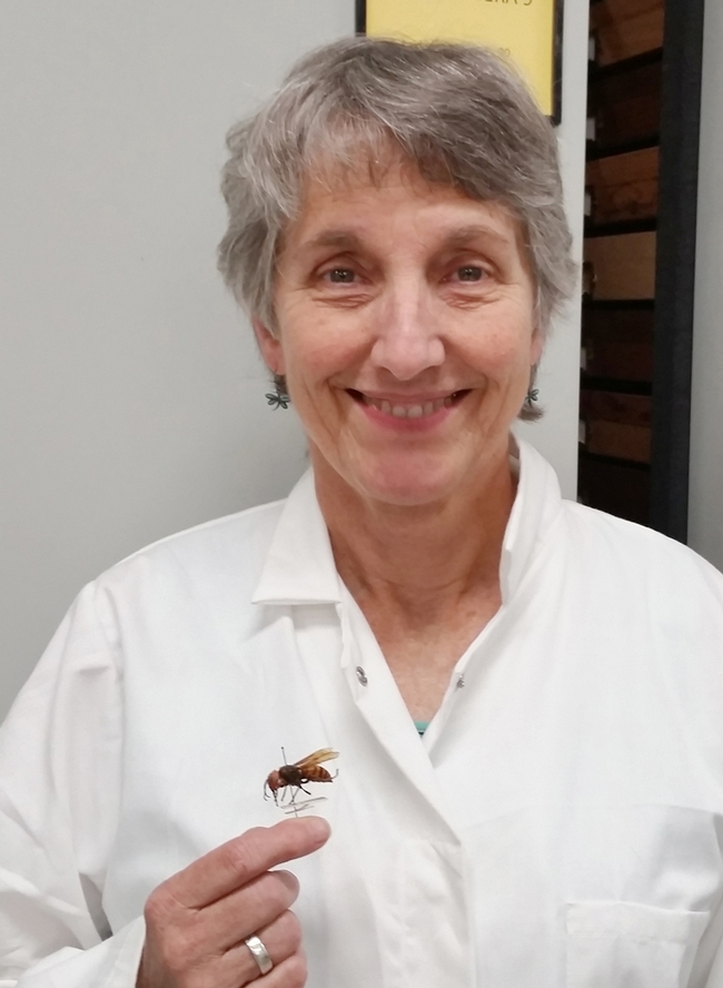 Lynn Kimsey, director of the Bohart Museum of Entomology, with an Asian giant hornet specimen from the Bohart's global collection. This queen measures about 1.5 inches.
