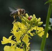 A honey bee encounters a lady beetle, aka ladybug, on mustard. (Photo by Kathy Keatley Garvey)