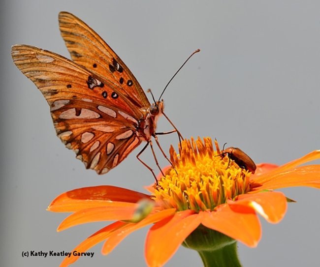A Gulf Fritillary eyes a blister beetle on a Tithonia. (Photo by Kathy Keatley Garvey)