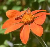 Occupied! A praying mantis, a female Stagmomantis limbata occupies a Mexican sunflower, Tithonia rotundifolia. (Photo by Kathy Keatley Garvey)