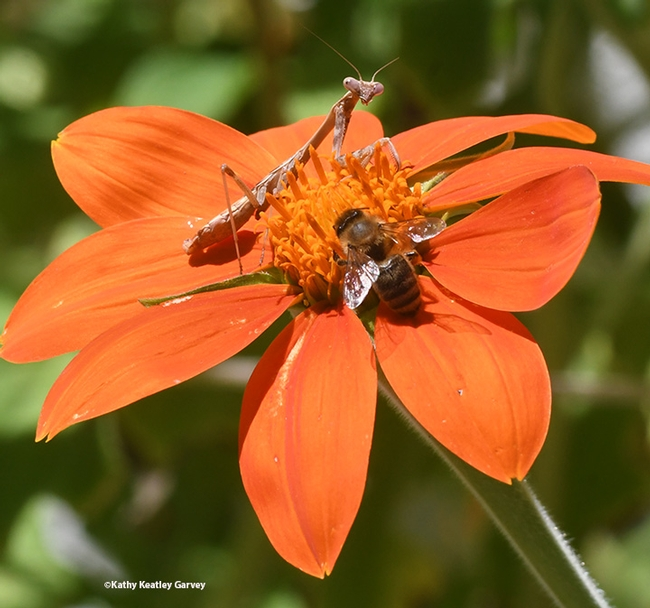 Double Occupancy: The praying mantis and honey bee share the Mexican sunflower. (Photo by Kathy Keatley Garvey)