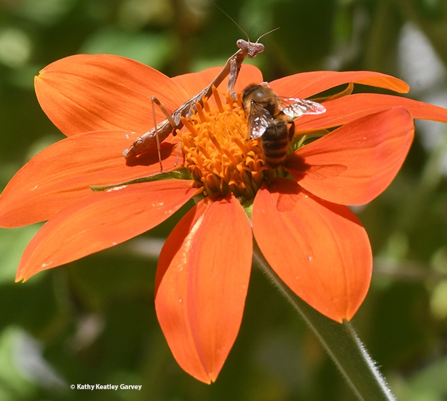 Oh, Yours? The honey bee prepares to leave the Mexican sunflower. (Photo by Kathy Keatley Garvey)