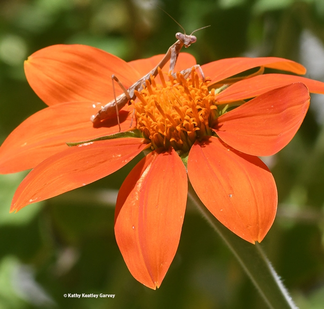 Lone Occupancy! The praying mantis again owns the Mexican sunflower. (Photo by Kathy Keatley Garvey)