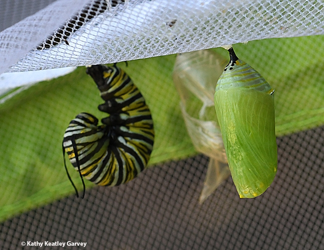 A monarch caterpillar j'ing; soon it will be a chrysalis. (Photo by Kathy Keatley Garvey)