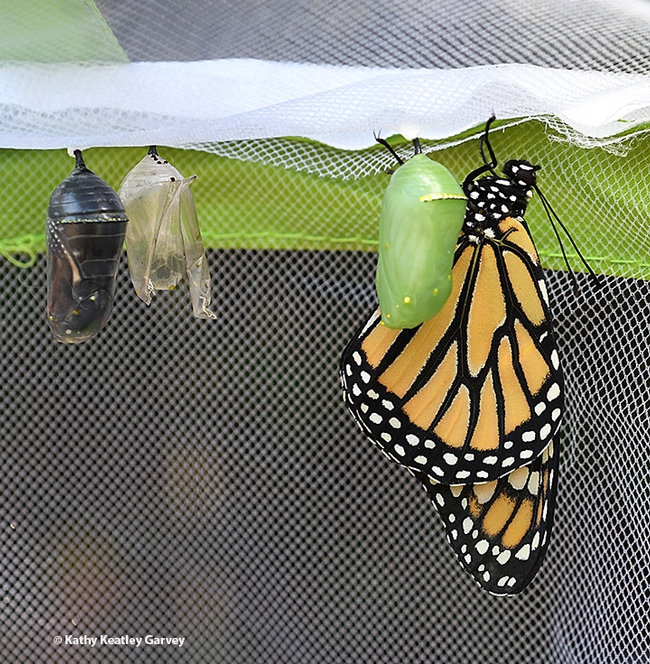 From left, a chrysalis about to release a monarch; an empty chrysalis or empty pupal exoskeleton, exuvia; a chrysalis; and an newly eclosed adult monarch. (Photo by Kathy Keatley Garvey)