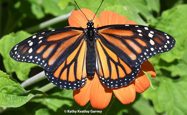 A newly eclosed female monarch on a Mexican sunflower, Tithonia. (Photo by Kathy Keatley Garvey)