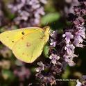 The sulphur or alfalfa butterfly, (Colias eurytheme) is widespread now in Solano, Yolo and Sacramento counties and is the biggest invasion in 20 or 30 years, says Art Shapiro, distinguished professor of evolution and ecology at UC Davis. (Photo by Kathy Keatley Garvey)