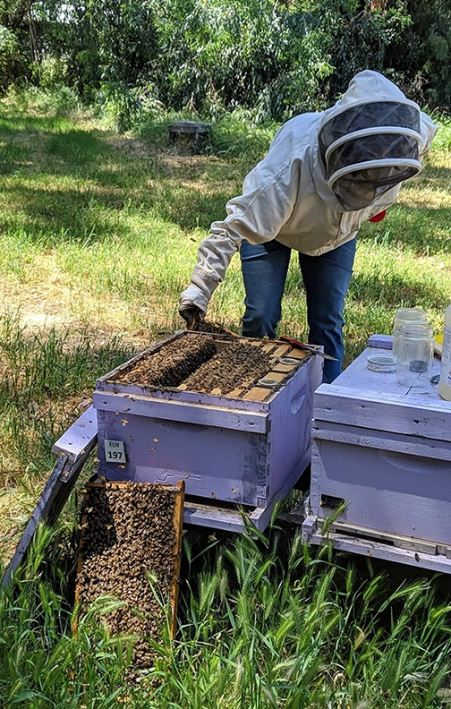 Master Beekeeper Amy Hustead opening a hive.