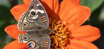 Signs of a predator. A tattered Buckeye butterfly, Junonia coenia, sipping nectar from a Mexican sunflower, Tithonia rotundifolia. (Photo by Kathy Keatley Garvey) for Bug Squad Blog