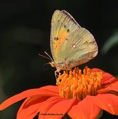 The larvae of the alfalfa butterfly are major pests of alfalfa. This butterfly is sipping nectar from a Mexican sunflower, Tithonia rotundifolia. (Photo by Kathy Keatley Garvey)
