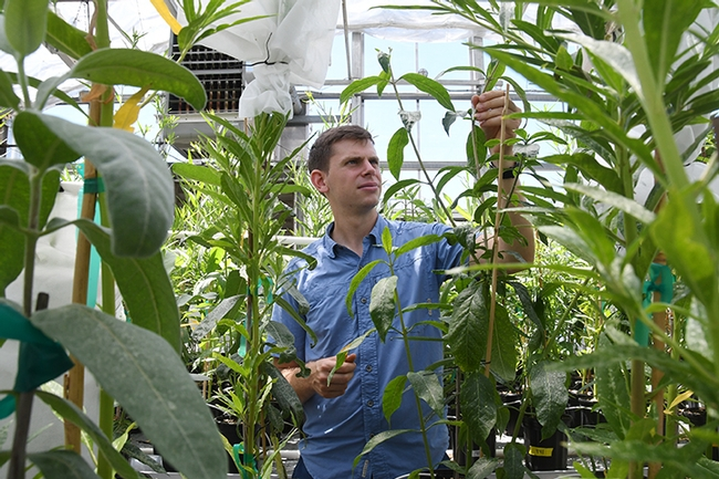 Former UC Davis doctoral student Micah Freedman tending his milkweed in a UC Davis greenhouse, where he reared monarchs for research. (Photo by Kathy Keatley Garvey)