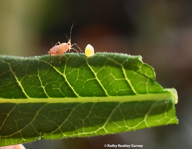 Photo-bomber! An oleander aphid appears out of nowhere, heading toward the monarch egg. (Photo by Kathy Keatley Garvey)