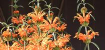 The lion's tail, Leonotis leonurus, is a native of South Africa and attracts birds, butterflies and hummingbirds. (Photo by Kathy Keatley Garvey) for Bug Squad Blog