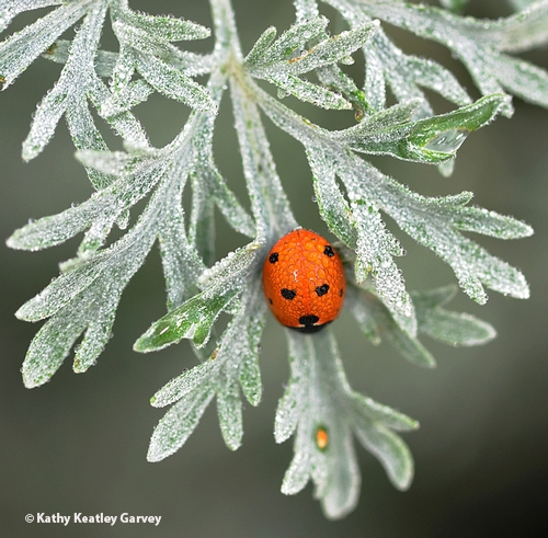 A lady beetle on the silvery gray foliage of Artemisia. (Photo by Kathy Keatley Garvey)