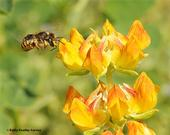 A European wool carder bee, Anthidium manicatum, heads for a snapdragon. (Photo by Kathy Keatley Garvey)