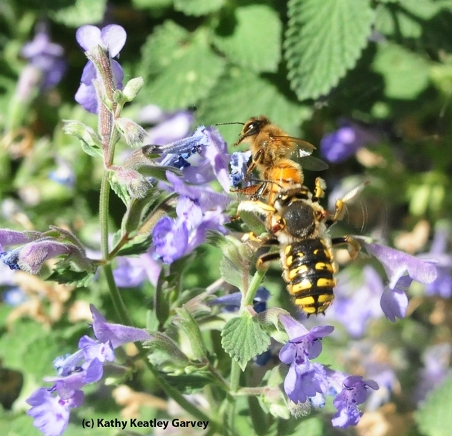 Male European wool carder bees are highly territorial. This one is targeting a honey bee on a catmint blossom. (Photo by Kathy Keatley Garvey)
