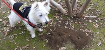 Piper, a West Highland white terrier, aka Westie,