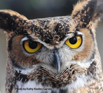 A great-horned owl from the California Raptor Center. (Photo by Kathy Keatley Garvey)