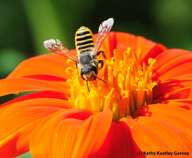 A native bee, Megachile fidelis, foraging on a Mexican sunflower (Tithonia) in the Häagen-Dazs Honey Bee Haven, UC Davis. (Photo by Kathy Keatley Garvey)