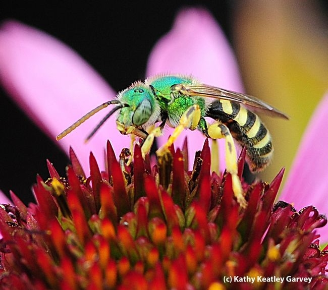 A male metallic green sweat bee, Agapostemon texanus, foraging on a purple coneflower at the former Mostly Natives Nursery in Tomales, Marin County. (Photo by Kathy Keatley Garvey)