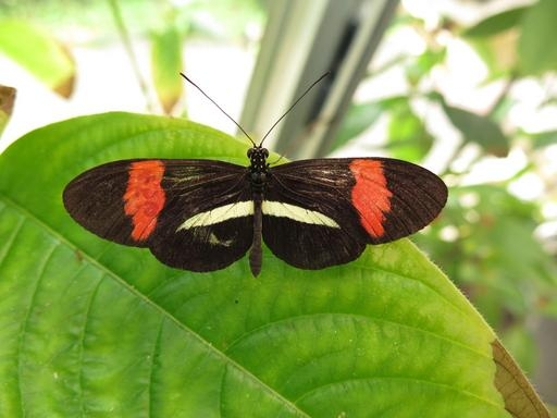 Heliconious butterfly.