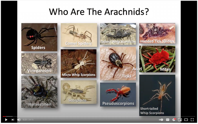 UC Davis doctoral student Lacie Newton of the Jason Bond lab talks about arachnids in her video. (Screen shot)