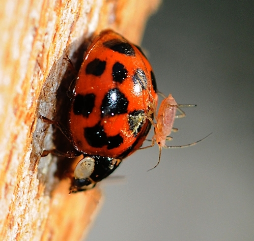 An aphid rides the back of a lady beetle. (Photo by Kathy Keatley Garvey)