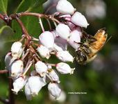 A honey bee foraging on manzanita in the UC Davis Department of Entomology and Nematology's Honey Bee Haven on Bee Biology Road. (Photo by Kathy Keatley Garvey)