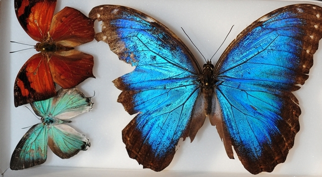 The UC Davis Biodiversity Museum Month showcases 12 museums or collections this year, including the Bohart Museum of Entomology. This image shows butterflies from Belize, part of the Bohart collection. They are (far right) Blue Morpho, Morpho helenor montezuma; (top left), a leaf mimic, Fountainea eurypyle confusa; and a blue hairstreak, Pseudolycaena damo, according to entomologist Jeff Smiths who curates the Lepidoptera section. (Photo by Kathy Keatley Garvey)