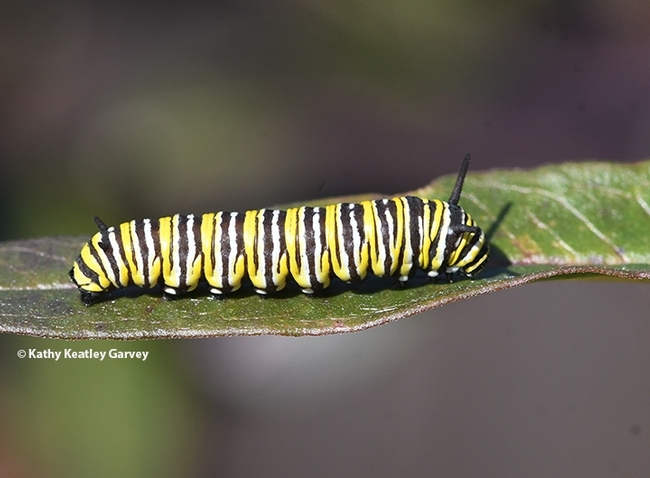 A winter monarch caterpillar munching on the remnants of milkweed on Jan. 23 in Vacaville, Calif. (Photo by Kathy Keatley Garvey)