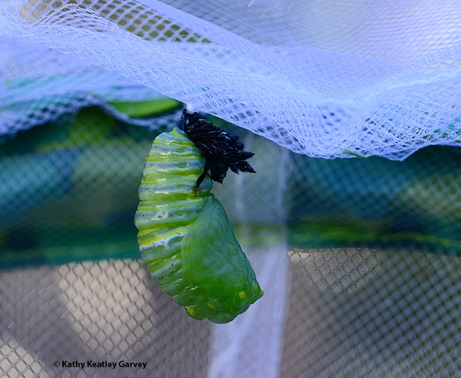 It's almost a chrysalis. (Photo by Kathy Keatley Garvey)