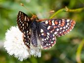 Edith's checkerspot (Euphydryas editha) is one of the species declining in at least two datasets quoted in the Science publication. (Photo courtesy of Walter Siegmund, Wikipedia)