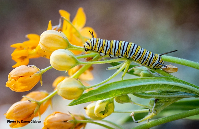 "This is Henry as a winter monarch caterpillar found in the front yard of Karen Gideon, Greenbrae. It was feasting on  her milkweed, ""Hello Yellow"" Asclepias tuberosa, native to eastern and southwestern North America. (Photo by Karen Gideon)"