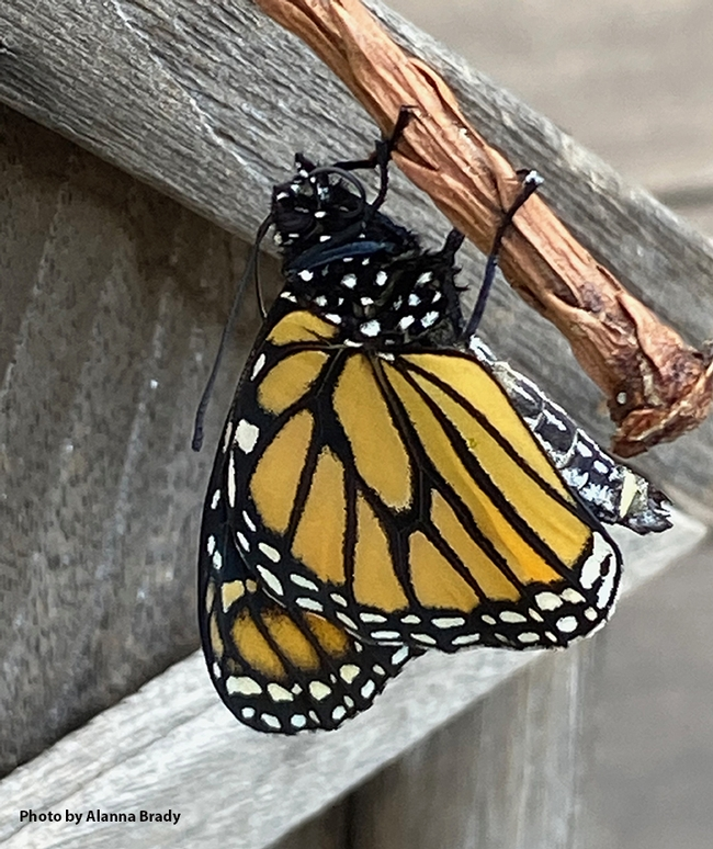 Henry as a newly eclosed monarch butterfly drying his wings. (Photo by Alanna Brady)